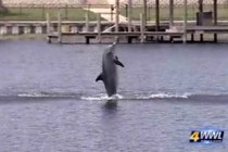 lone dolphin in New-Orleans lake