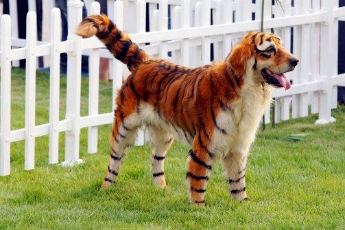 dog looks like a tigerDog That Looks Like A Tiger