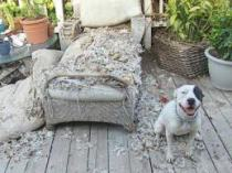destructive dog